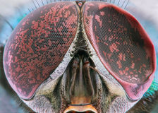Fly extreme closeup of damaged compound eye Stock Photography