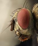 Fly extreme closeup of head from front view Royalty Free Stock Image