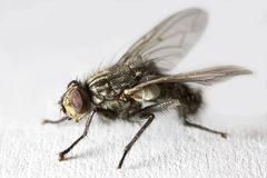 Fly in extreme macro mode Stock Photos