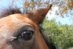 Fly on eye of a horse Stock Photography