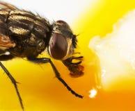Fly feeding. A house fly feeding on egg Stock Photo