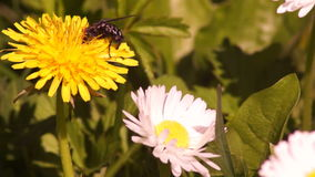 Fly Feeding on Pollen.Flies are adapted for aerial movement and typically have short and streamlined bodies. stock video footage