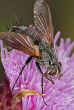 Fly feeding on an thistle flower head. Stock Photos