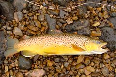 Fly Fishing, Beautiful Brown Trout Royalty Free Stock Photos