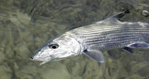 Fly fishing for bonefish Stock Photography