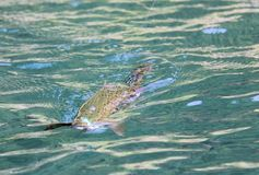 Fly-Fishing for brown trout in clear water Royalty Free Stock Photo