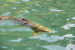 Fly-Fishing for brown trout in clear water Stock Images