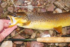 Fly fishing - Brown Trout Stock Photos