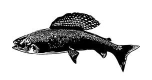 Fly fishing grayling fish illustration. Dry artificial flies are used for fishing for graceful Grayling Stock Images