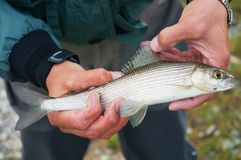 Fly fishing in Mongolia -  grayling fish. Fly fishing on Lake Hoton Nuur in Mongolia -  grayling fish Stock Photo