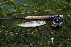 Fly Fishing Pole with Rainbow Trout. Fly fishing pole with trout on bed of moss royalty free stock photography