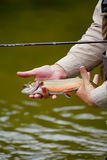 Fly fishing rainbow trout. Man fly fishing in local stream holding his catch stock photography