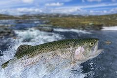 Fly fishing. Rainbow trout fish jumping for catching synthetic insect with splashing in water royalty free stock images