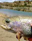 Fly fishing for rainbow trout stock images