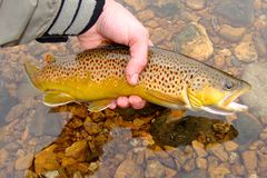 Fly Fishing, Releasing Beautiful Brown Trout Royalty Free Stock Photo