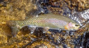 Wild rainbow trout caught in the Rocky Mountains royalty free stock photo