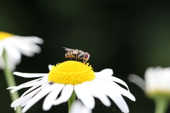 Fly / Fliege. A fly sits on a white flower royalty free stock photo