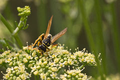Fly / Fliege Royalty Free Stock Photography