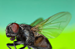 Fly flies with spread wings on a bright background Royalty Free Stock Image