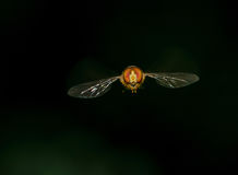 A fly in flight Royalty Free Stock Images