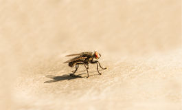 A fly on the floor, Fly is carrier of diarrhea,Macro of a green fly Royalty Free Stock Images