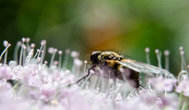 Fly and flover Stock Photography