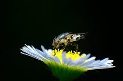 Fly flowe. Macro black rain insect fly flower Stock Photos