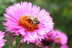 A fly and a flower. Fly from the detachment of Syrphidae in a flower sentyabriny collects nectar Stock Images