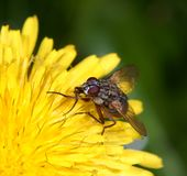 Fly on a flower Royalty Free Stock Photography