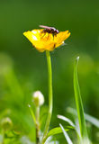 Fly on flower. Fly on a yellow Buttercup flower Stock Photography
