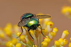 Fly on flower. Greenbottle fly on a yellow flower in the summertime Stock Images