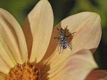 Fly on flower Royalty Free Stock Photography
