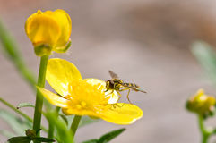 Fly on flower Royalty Free Stock Images