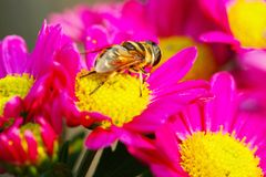 The fly and flower Royalty Free Stock Photo