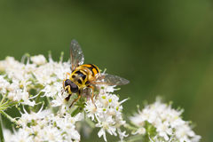 Fly on a flower. Bee colored fly collecting pollen on a white flower stock image