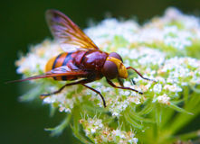 Fly on a flower Royalty Free Stock Photos