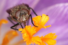 Fly on flower blossom Royalty Free Stock Photo