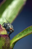 Fly on Flower Bud Royalty Free Stock Image