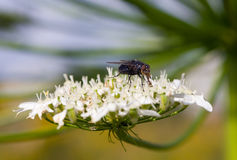 Fly on a flower close-up Stock Photography