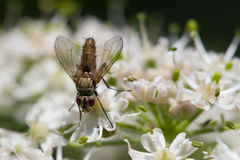 Fly on a flower. Fly collecting pollen on a white flower stock photo