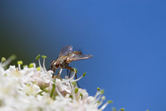 Fly on a flower. Fly collecting pollen on a white flower royalty free stock images
