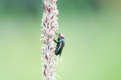 Fly on flower corn Royalty Free Stock Images
