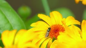 Fly on a flower stock video footage