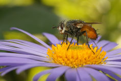 Fly on a flower Stock Photography