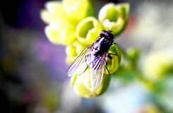 Fly on flower Stock Photo