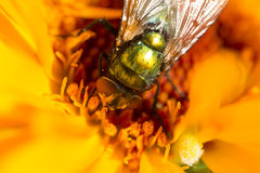 Fly in the flower Stock Images
