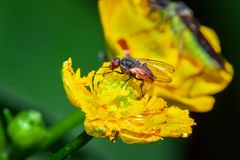 Fly on flower macro. Red fly on yellow flower macro photo Royalty Free Stock Image