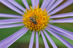 Fly on flower with purple petals and yellow stamens. Royalty Free Stock Photo