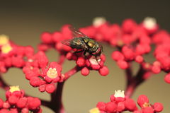 Fly on Flower Royalty Free Stock Photos