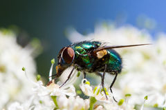 Fly on a flower. Shiny fly collecting pollen on a white flower royalty free stock photography